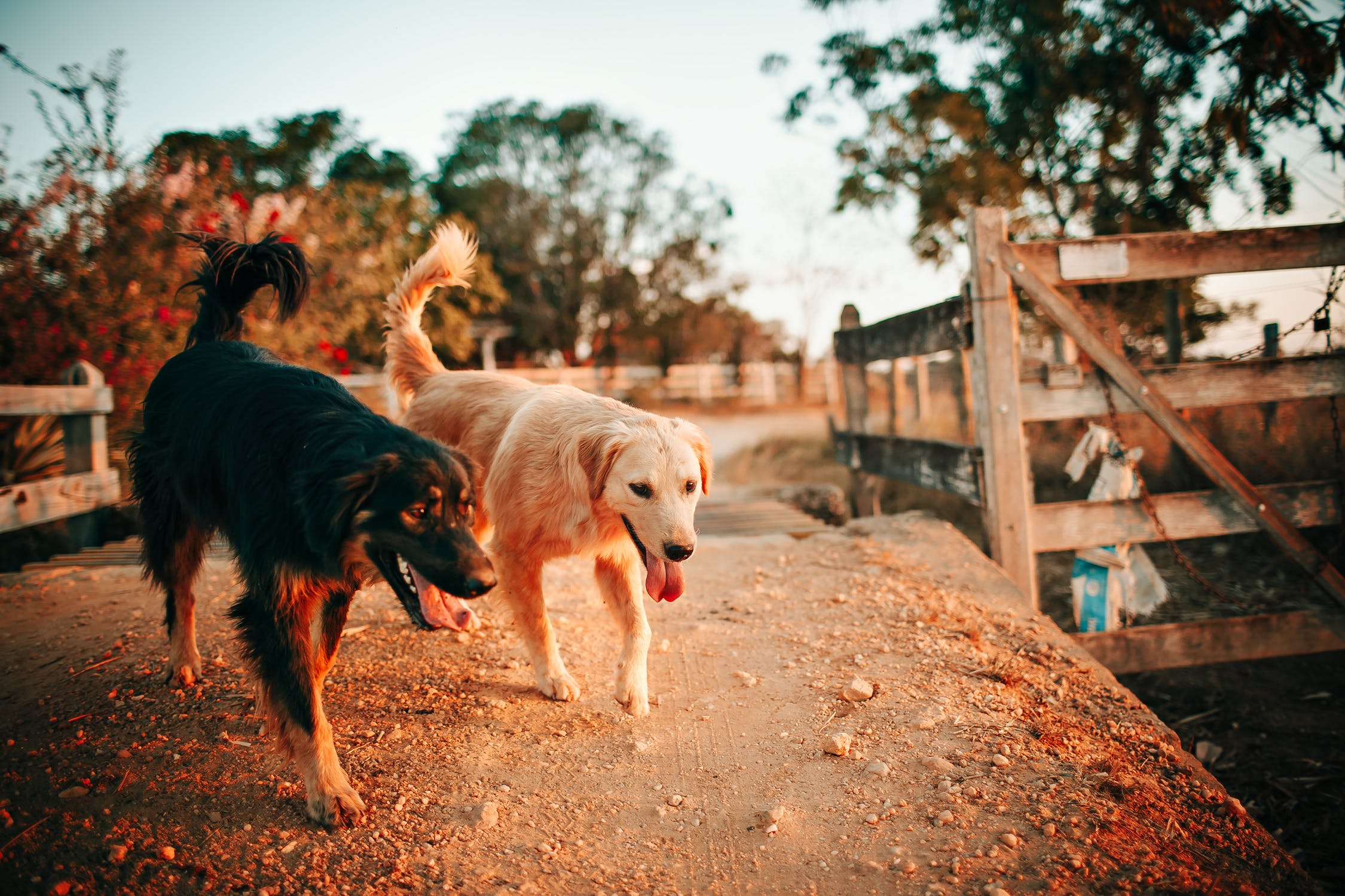 dwa psy na spacerze