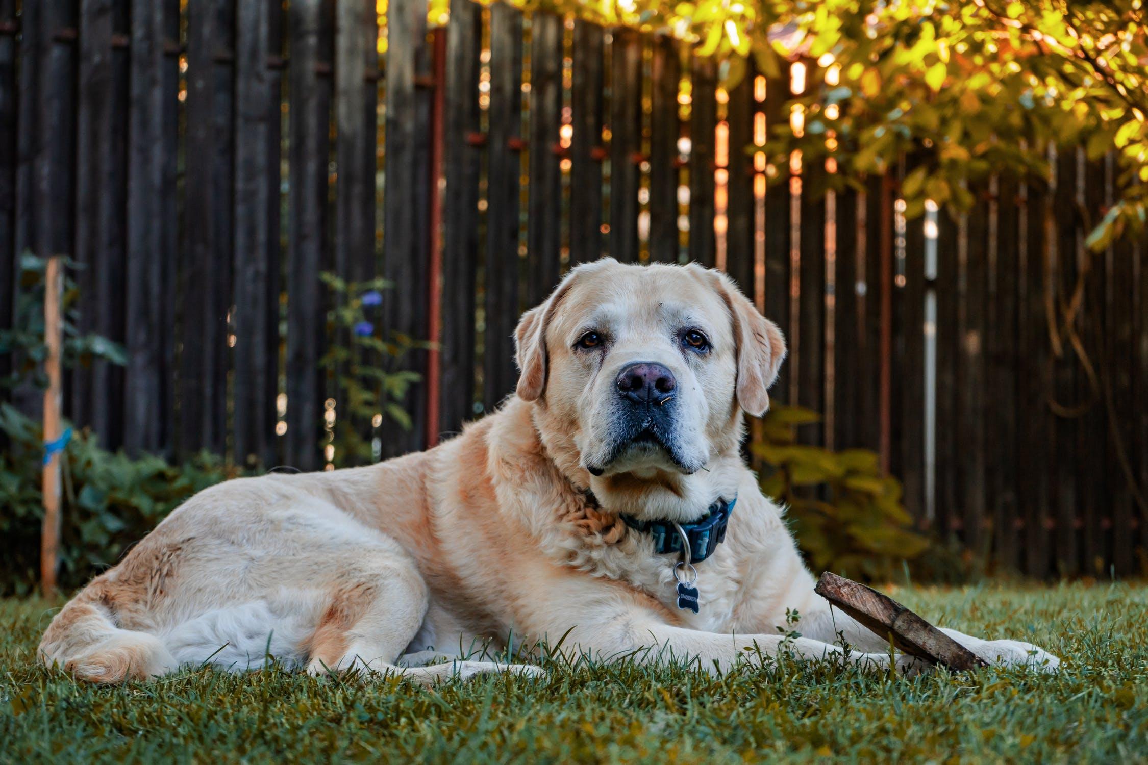 pies labrador bawiący się deską